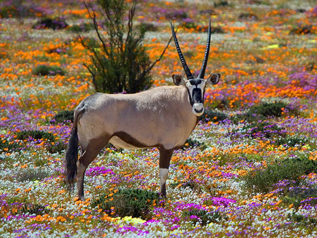 Upington Attractions | Namaqualand Flower Season